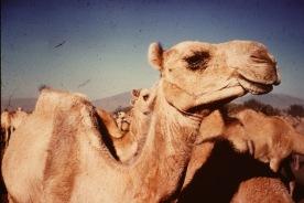 54 Camel