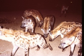72 Hyenas